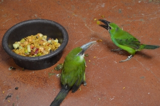 Emerald Toucanet, Crimson Rump Toucan